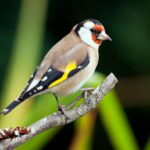 Jilgueros: Aves silvestres